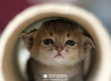 茶杯猫图片