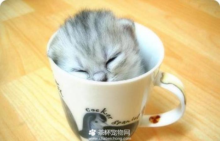 茶杯猫图片(三)