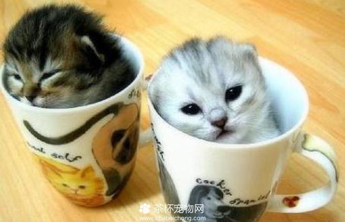 茶杯猫图片(四)