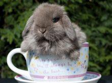 茶杯兔图片