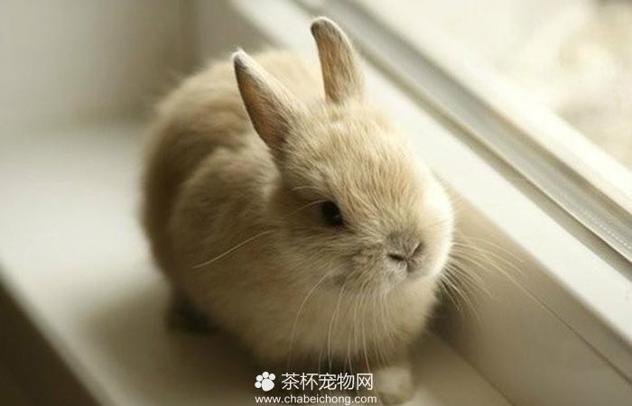 茶杯兔图片(二)