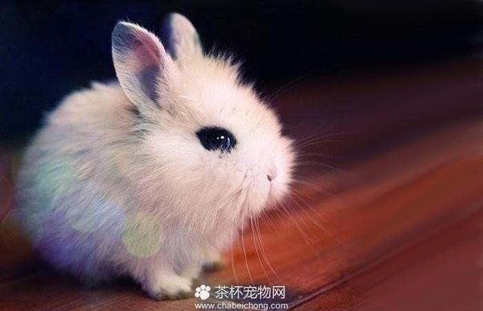 茶杯兔图片(四)