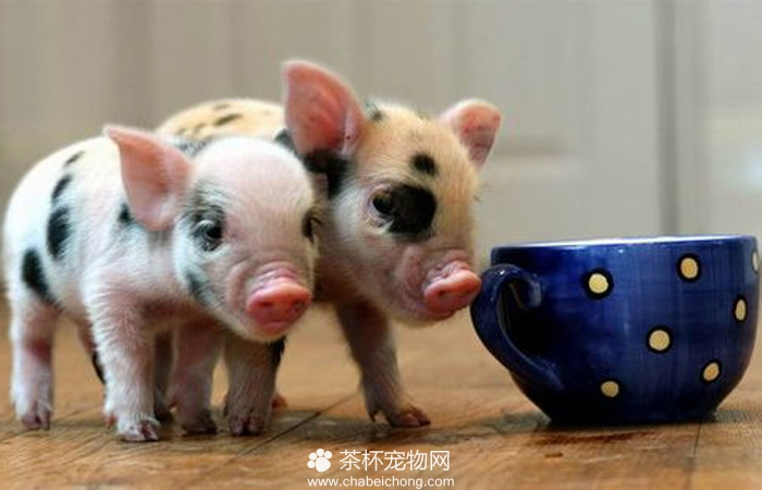 茶杯猪图片