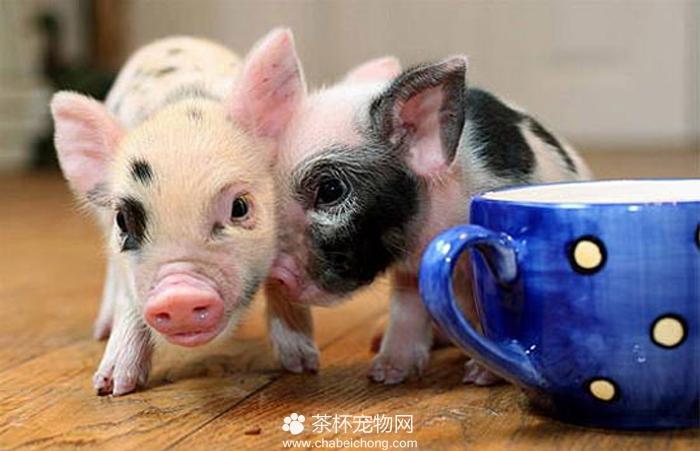 茶杯猪图片(二)