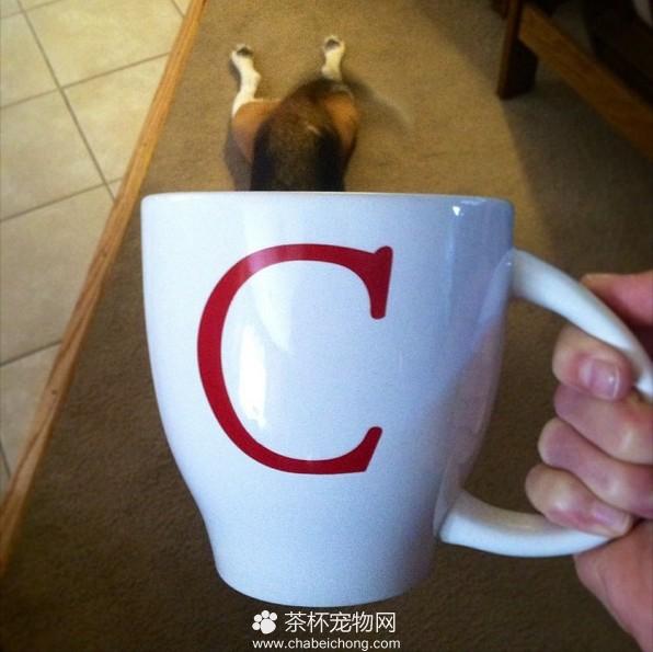 茶杯犬图片(五)