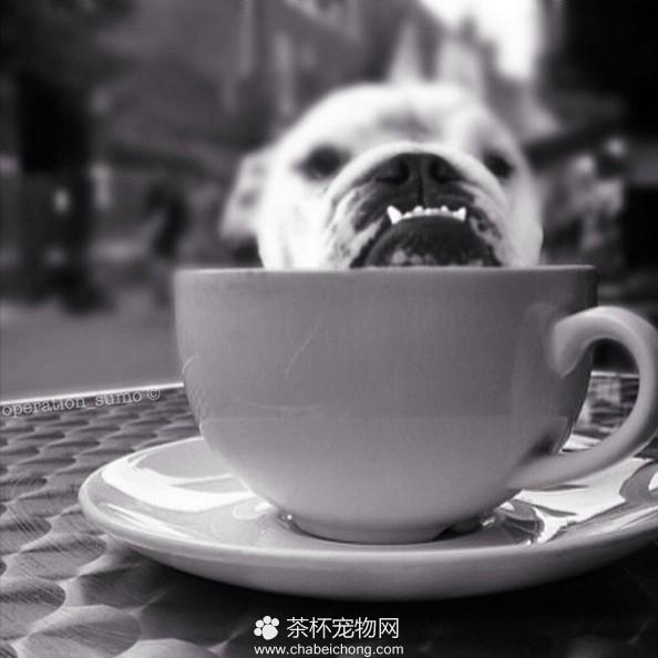 茶杯犬图片(六)