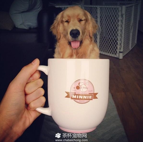 茶杯犬图片(七)