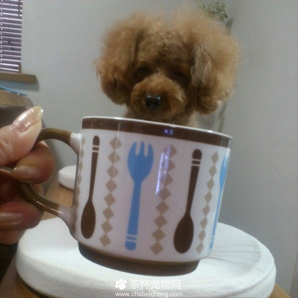 茶杯犬图片(八)