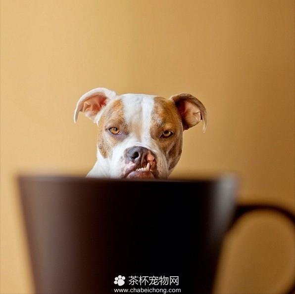 茶杯犬图片(九)