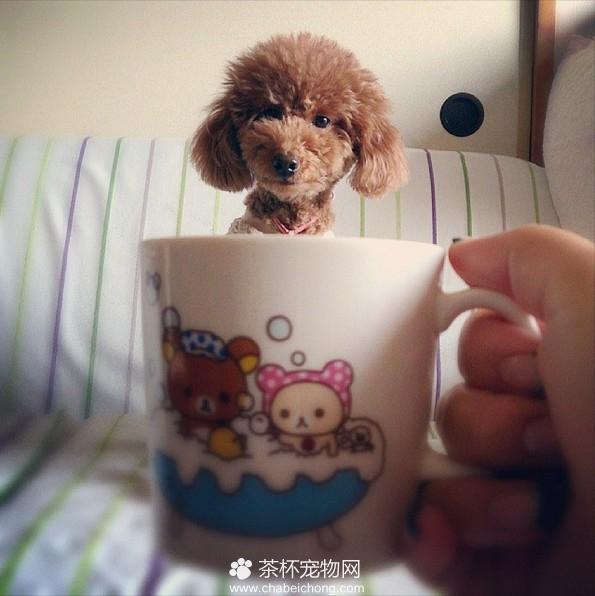 茶杯犬图片(十一)