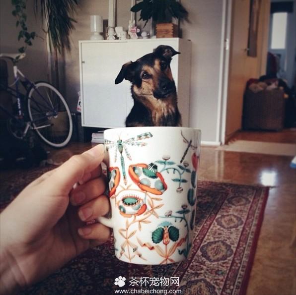茶杯犬图片(十二)