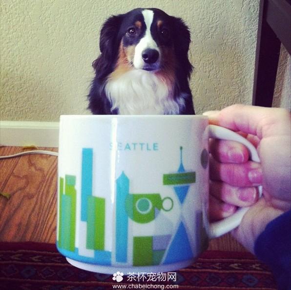 茶杯犬图片(十三)