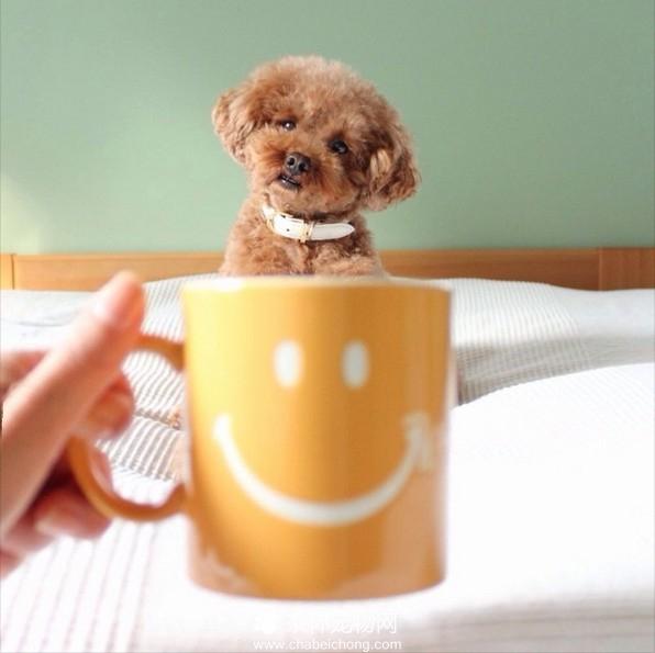 茶杯犬图片(十五)