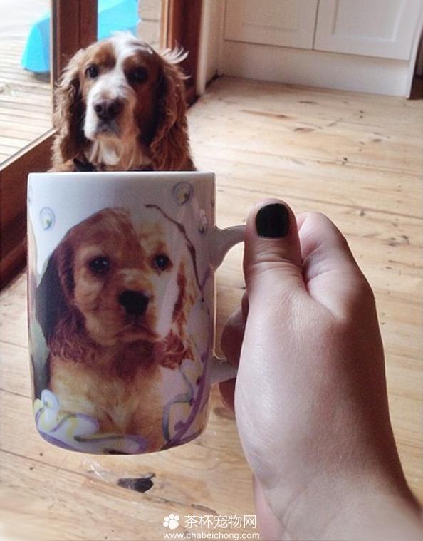 茶杯犬图片(十六)