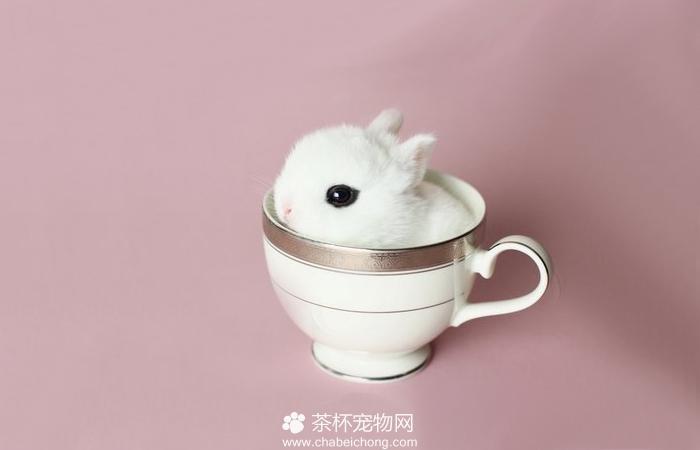 迷你茶杯兔