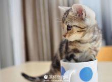 茶杯猫训练