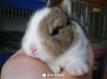 侏儒兔(四)