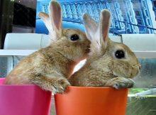 两个茶杯里的灰兔子