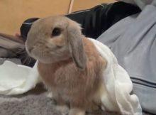 灰色垂耳兔子