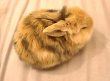 慵懒的小兔子