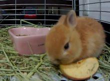 喜欢吃苹果的兔子