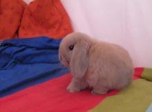 灰色侏儒兔