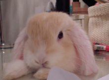粉色迷你兔