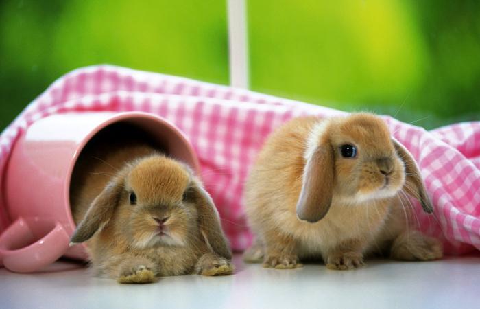 可爱茶杯兔