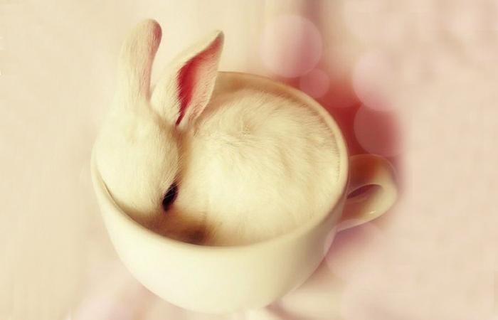 饲养茶杯兔