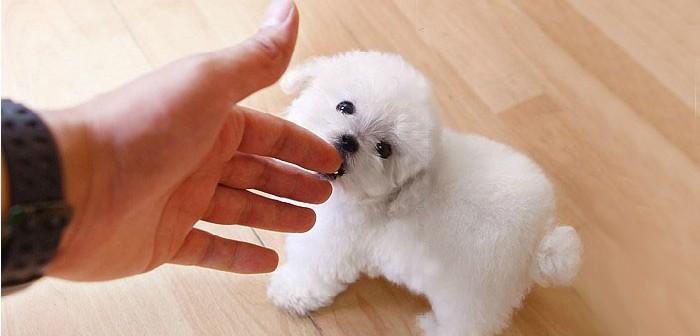 369宠物网_茶杯宠物网_宠物狗茶杯犬价格_淘宝助理