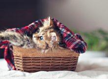 小茶杯猫图片