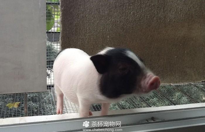 小香猪图片(二)