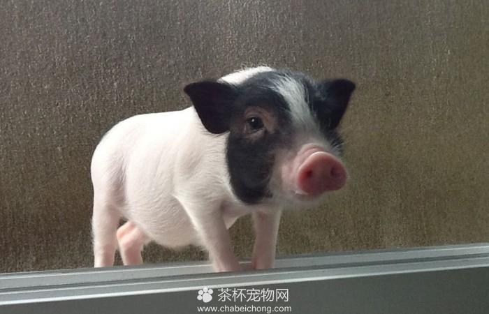 小香猪图片(三)