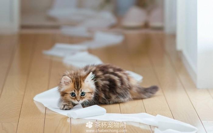 茶杯猫幼崽