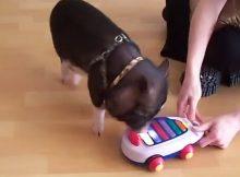 训练宠物猪
