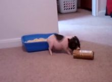 小香猪的玩具