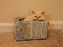抽纸盒里的茶杯猫