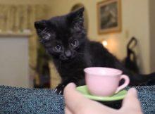 喜欢喝牛奶的小黑猫