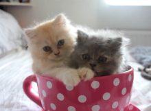两个茶杯猫