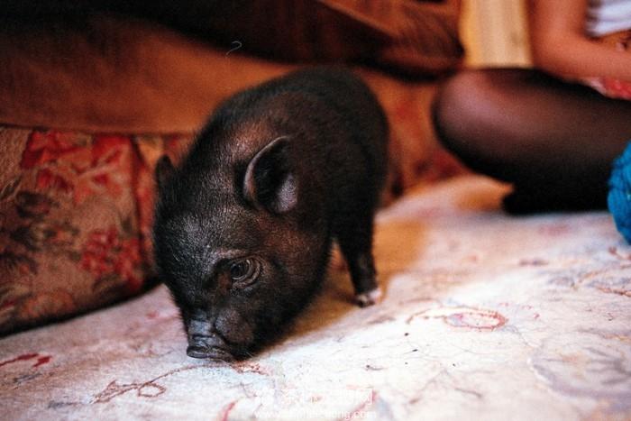 小香猪繁殖