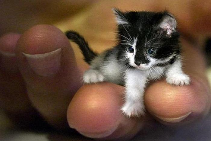 世界上最小的猫?