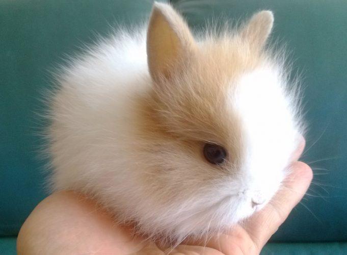 萌人的迷你兔