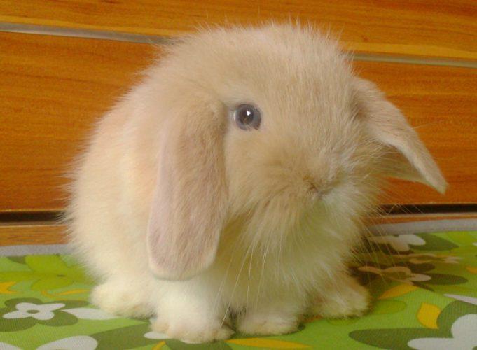 萌人的迷你兔(二)