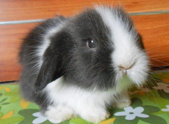 萌人的迷你兔(四)