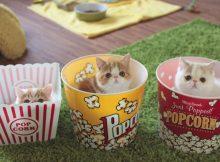 三个包子脸猫咪