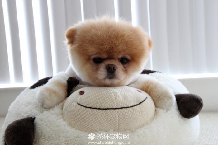 Boo 世界上最可爱的狗狗(二)