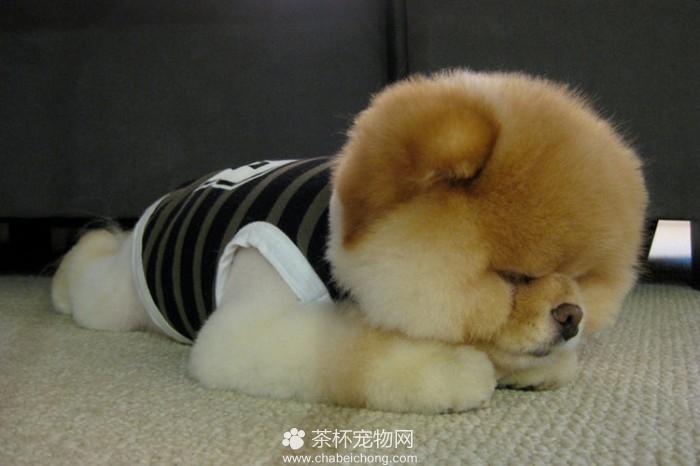 Boo 世界上最可爱的狗狗(四)