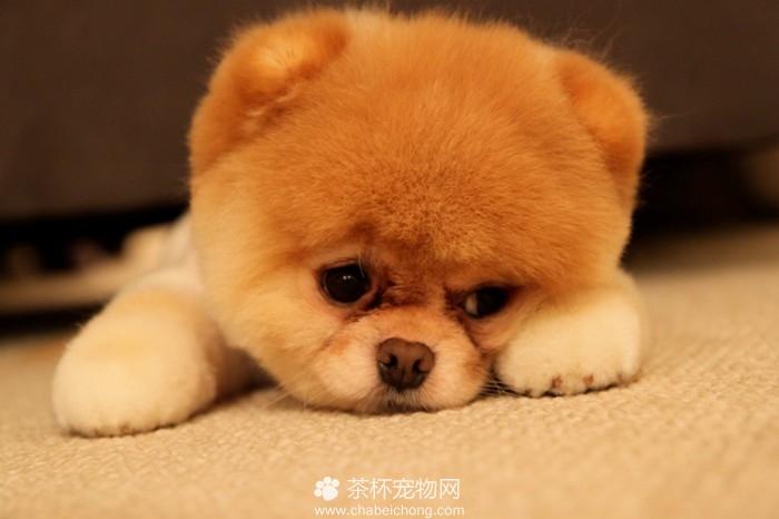Boo 世界上最可爱的狗狗(一)