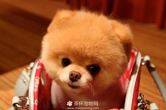 Boo 世界上最可爱的狗狗(三)