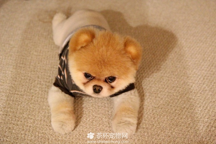 Boo 世界上最可爱的狗狗(五)